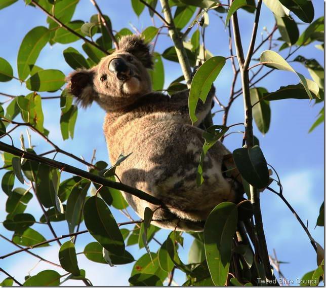 A_koala_160834_640